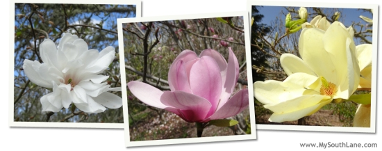 Magnolias in bloom at Ruff Park in Springfield