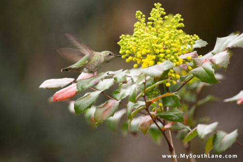 Hummingbird and Oregon Grape