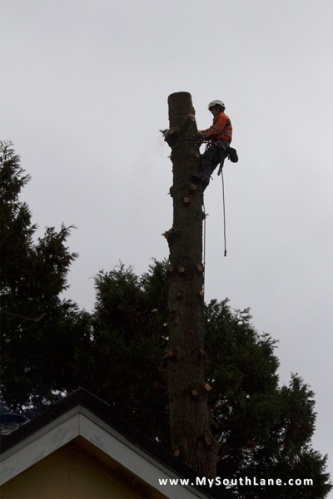 Douglas fir removal