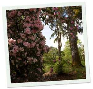 The Hinsdale Rhododendron Garden is a woodland treat.